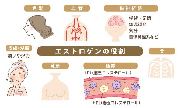 エストロゲンの役割